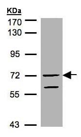 Western blot - RAPGEF5 antibody (ab96269)