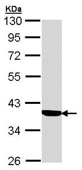 Western blot - Cortisol Binding Globulin antibody (ab96270)