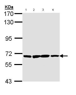Western blot - Pan3 antibody (ab96325)