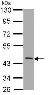 Western blot - CD1b antibody (ab96329)