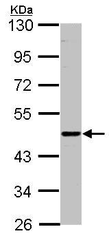 Western blot - ENTPD6 antibody (ab96339)