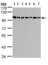 Western blot - HPS3 antibody (ab96343)