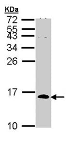 Western blot - Cdc26 / Apc12 antibody (ab96346)