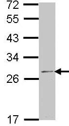 Western blot - RPL14 antibody (ab96350)