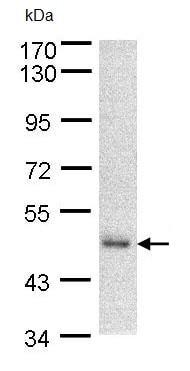 Western blot - DNAJA2 antibody (ab96361)