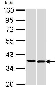 Western blot - FAM50A antibody (ab96364)