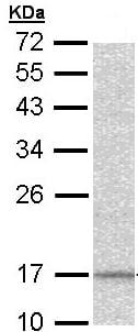 Western blot - DAP13 antibody (ab96376)