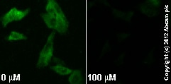 Immunocytochemistry/ Immunofluorescence - Anti-MEK1 (phospho S298) antibody [EPR3338] (ab96379)