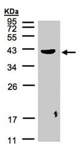 Western blot - Pleckstrin antibody (ab96390)