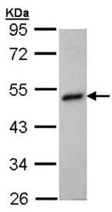 Western blot - BHMT antibody (ab96415)
