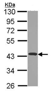 Western blot - NDUFA10 antibody (ab96449)
