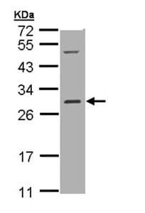 Western blot - RALB antibody (ab96456)