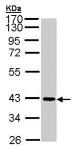 Western blot - Junctional Adhesion Molecule 2 antibody (ab96465)