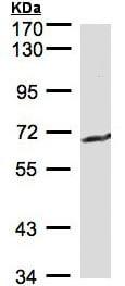 Western blot - GGT1 antibody (ab96466)