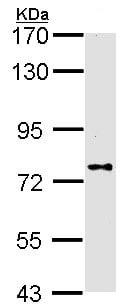 Western blot - DPP8 antibody (ab96470)