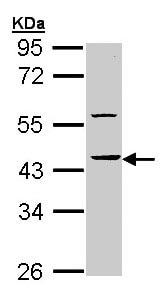 Western blot - HS1BP3 antibody (ab96472)