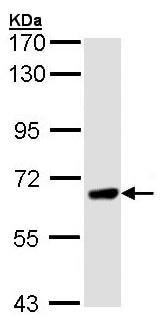 Western blot - PPEF1 antibody (ab96557)