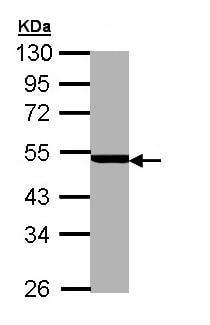 Western blot - PSMC3 antibody (ab96558)