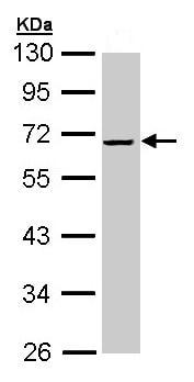 Western blot - Alpha 2 Antiplasmin antibody (ab96626)