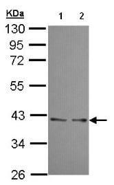 Western blot - UFD1L antibody (ab96648)