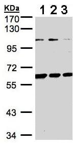 Western blot - BIVM antibody (ab96665)