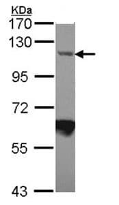Western blot - Importin 7 antibody (ab96669)