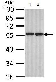 Western blot - ETEA antibody (ab96673)