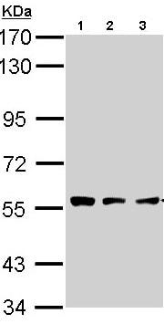 Western blot - TPP1 antibody (ab96690)