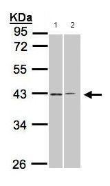 Western blot - GALR2 antibody (ab96702)