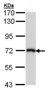 Western blot - CD98 antibody (ab96721)