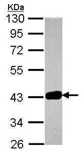 Western blot - GRAP2 antibody (ab96722)