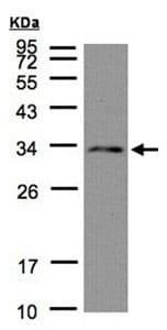 Western blot - NSL1 antibody (ab96728)