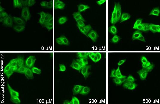 Immunocytochemistry/ Immunofluorescence - Anti-Prostaglandin dehydrogenase 1 antibody (ab96732)