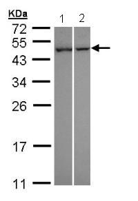 Western blot - NNT1 antibody (ab96733)