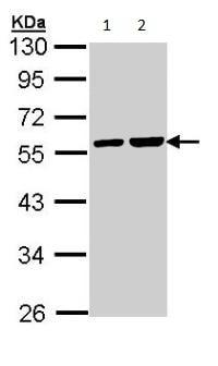 Western blot - TUBA4A antibody (ab96743)