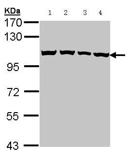 Western blot - Cellular Apoptosis Susceptibility antibody (ab96755)