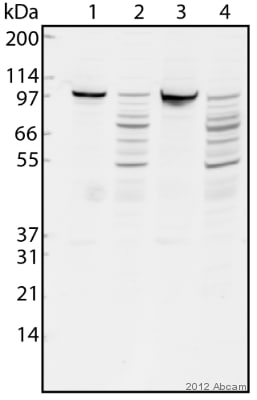 Western blot - Anti-Cellular Apoptosis Susceptibility antibody (ab96755)