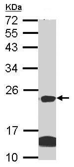 Western blot - Claudin 14 antibody (ab96786)