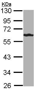 Western blot - FbxL6 antibody (ab96832)
