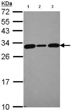 Western blot - SIAH Interacting Protein antibody (ab96836)