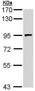 Western blot - MCM7 antibody (ab96849)