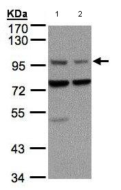 Western blot - Axin 1 antibody (ab96856)