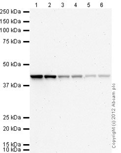 Western blot - Rabbit polyclonal Secondary Antibody to Mouse IgG - H&L (AP) (ab97043)
