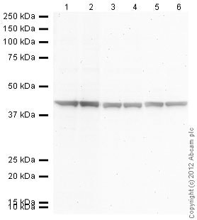 Western blot - Goat anti-Rabbit IgG H&L (AP) secondary antibody (ab97048)
