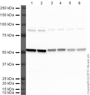 Western blot - Goat polyclonal Secondary Antibody to Rat IgG - H&L (HRP) (ab97057)