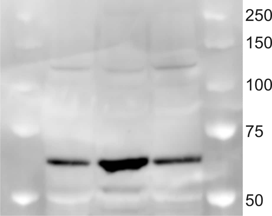 Western blot - Donkey polyclonal Secondary Antibody to Rabbit IgG - H&L (HRP) (ab97064)