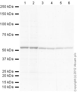 Western blot - Donkey polyclonal Secondary Antibody to Goat IgG - H&L (AP) (ab97107)