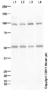 Western blot - Cadherin 8 antibody (ab97268)