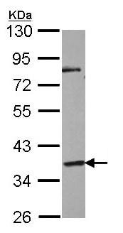 Western blot - GPCR GPR45 antibody (ab97270)