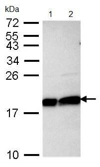 Western blot - Ube2L3 antibody (ab97277)